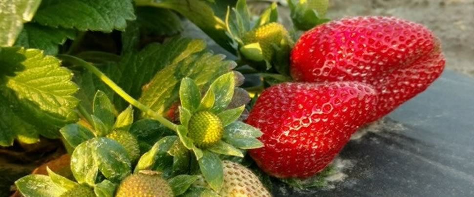 Pick Fresh Strawberries